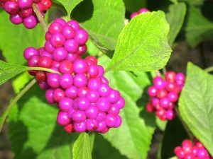 I have no idea what these berries are, but aren't they luscious in color?
